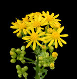 Butterweed, Packera glabella, Isolated Royalty Free Stock Images