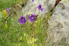 Butterwort commun image libre de droits