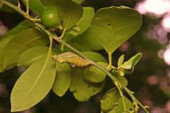 Buttery fly pupa, pest of citrus plant royalty free stock image