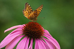 Butterfly landed on a coneflower Royalty Free Stock Images