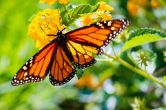 Butteryfly auf Schafgarbe Lizenzfreie Stockfotos