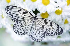 Butteryfly que alimenta en mariposa del tigre de las flores blancas Imagenes de archivo