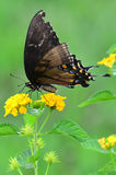 Butterfly on yarrow Royalty Free Stock Photography