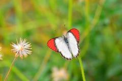 Buttetfly Stockfoto