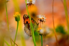 Buttetfly Immagine Stock Libera da Diritti