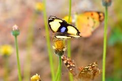 Buttetfly Immagini Stock Libere da Diritti