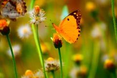Buttetfly Fotografia Stock