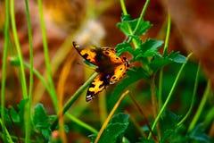 Buttetfly Lizenzfreie Stockfotografie
