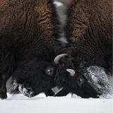 Butting bison heads royalty free stock photo