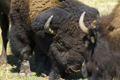 Butting heads. Two large bison/buffalo butting heads over grazing rights Stock Photo