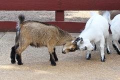 Butting heads. Two baby goats butting heads Stock Photo