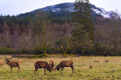 Butting Red deers. Butting Red deer in natural environment at Glen Etive, Scottish Highlands Stock Photography