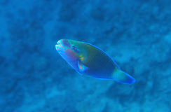 Buttlehead Parrotfish Royalty Free Stock Photo