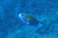 buttleheadparrotfish Royaltyfri Foto