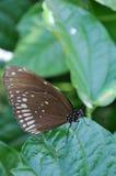 buttlerfly Royaltyfria Foton