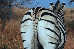 BUTTOCK AND TAIL OF ZEBRA. View of the buttocks and tail of a black and white adult zebra in Southern Africa royalty free stock photo