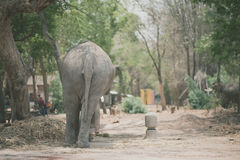 Buttom of elephant in the elephant village Royalty Free Stock Images