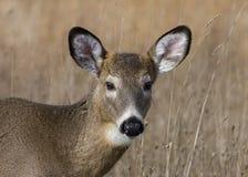 Button Buck Whitetail Deer (Odocoileus virginianus. Whitetail deer button buck in a field Royalty Free Stock Photo