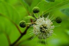 Button Bush Flower stock image