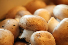 Button mushrooms. Brown button mushrooms organic production Stock Photo