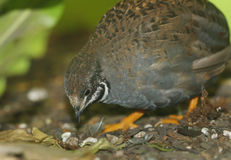 Button Quail Royalty Free Stock Photo