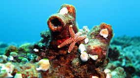 Button Star Fish. Photographed in Ponta Do Ouro Mozambique Royalty Free Stock Photos