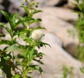 Buttonbush-Blüte Lizenzfreie Stockbilder