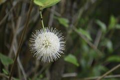 Buttonbush blomma Arkivbilder