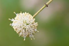 Buttonbush Royalty Free Stock Photo