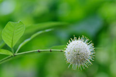 Buttonbush Stock Images