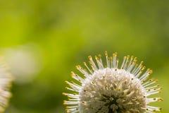 Buttonbush kwiatu zakończenie up Obrazy Royalty Free