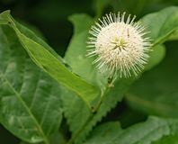 Closeup of a Buttonbush - Cephalanthus occidentalis. Buttonbush is a somewhat coarse, deciduous shrub with an open-rounded habit that typically grows 6-12 stock image