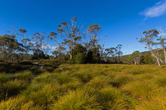 Buttongrass moorland and tall gum trees against blue sky at part Royalty Free Stock Images