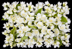 Buttonhole from white  jasmine flowers Stock Images