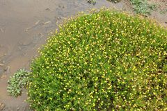 Buttonweed - invasive species. Cotula coronopifolia (known as buttonweed or brass buttons) - Asteraceae family plant in California. Mildly invasive species Royalty Free Stock Image