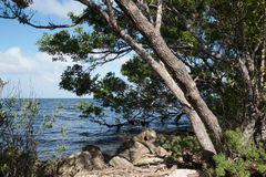 Buttonwood στο εθνικό πάρκο Biscayne Στοκ Εικόνες