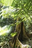 Buttress root in rainforest stock photos