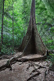 Buttress root tree Stock Photos
