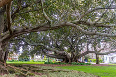 Buttress roots of Moreton Bay fig tree. In Albert Park, Auckland, New Zealand Royalty Free Stock Images