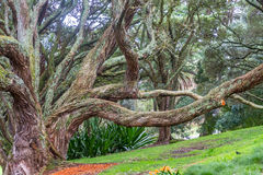 Buttress roots of Moreton Bay fig tree. In Albert Park, Auckland, New Zealand Royalty Free Stock Photo