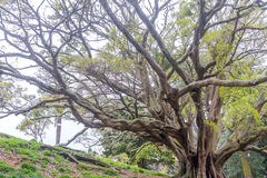 Buttress roots of Moreton Bay fig tree. In Albert Park, Auckland, New Zealand Stock Photography