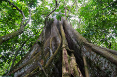 Buttress roots in the rain forest Royalty Free Stock Photo