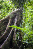 Buttress Roots in Rainforest Stock Photography