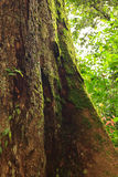 Buttress tree roots in rainforest Royalty Free Stock Photos