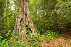 Buttress tree roots in rainforest Royalty Free Stock Photography