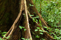 Buttress tree roots in rainforest Stock Photography