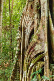 Buttress tree roots in rainforest Stock Image