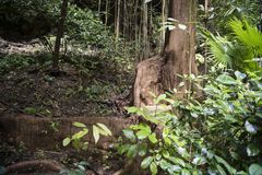 Buttress root in rainforest Stock Images
