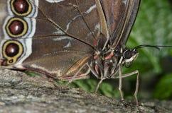 buttterfly сыч Стоковые Фотографии RF
