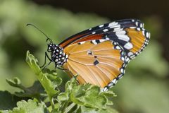Buttterfly fotografie stock libere da diritti